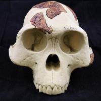 Australopithecus Afarensis (Lucy)