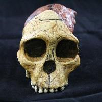 Australopithecus Africanus (Taung Child)