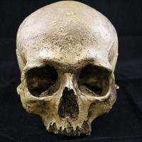 Homo Sapiens (Cro Magnon)