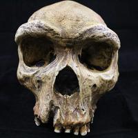 Homo Heidelbergensis (Broken Hill)