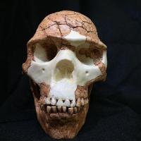 Homo Sapiens (Skhul)