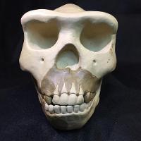 Homo Erectus Modjokertensis
