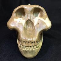 Australopithecus Boisei