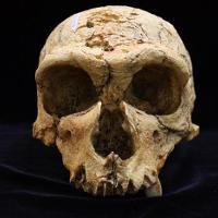 Homo Neanderthalensis (La Chapelle aux Saints)